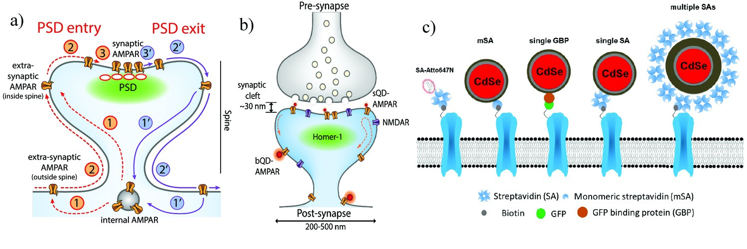 Super-resolution imaging of synaptic and Extra-synaptic AMPA