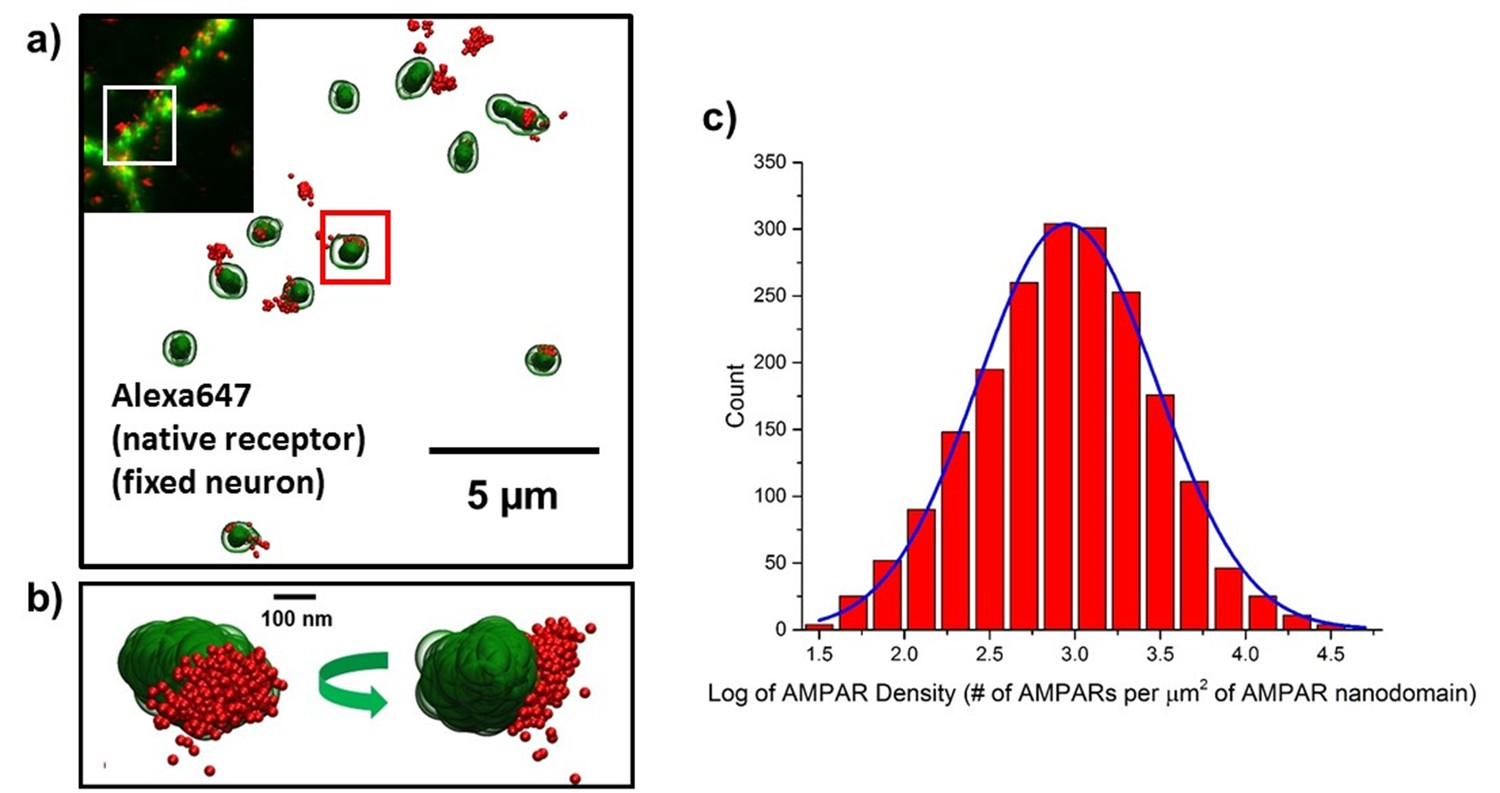 super resolution imaging of synaptic and extra synaptic ampa