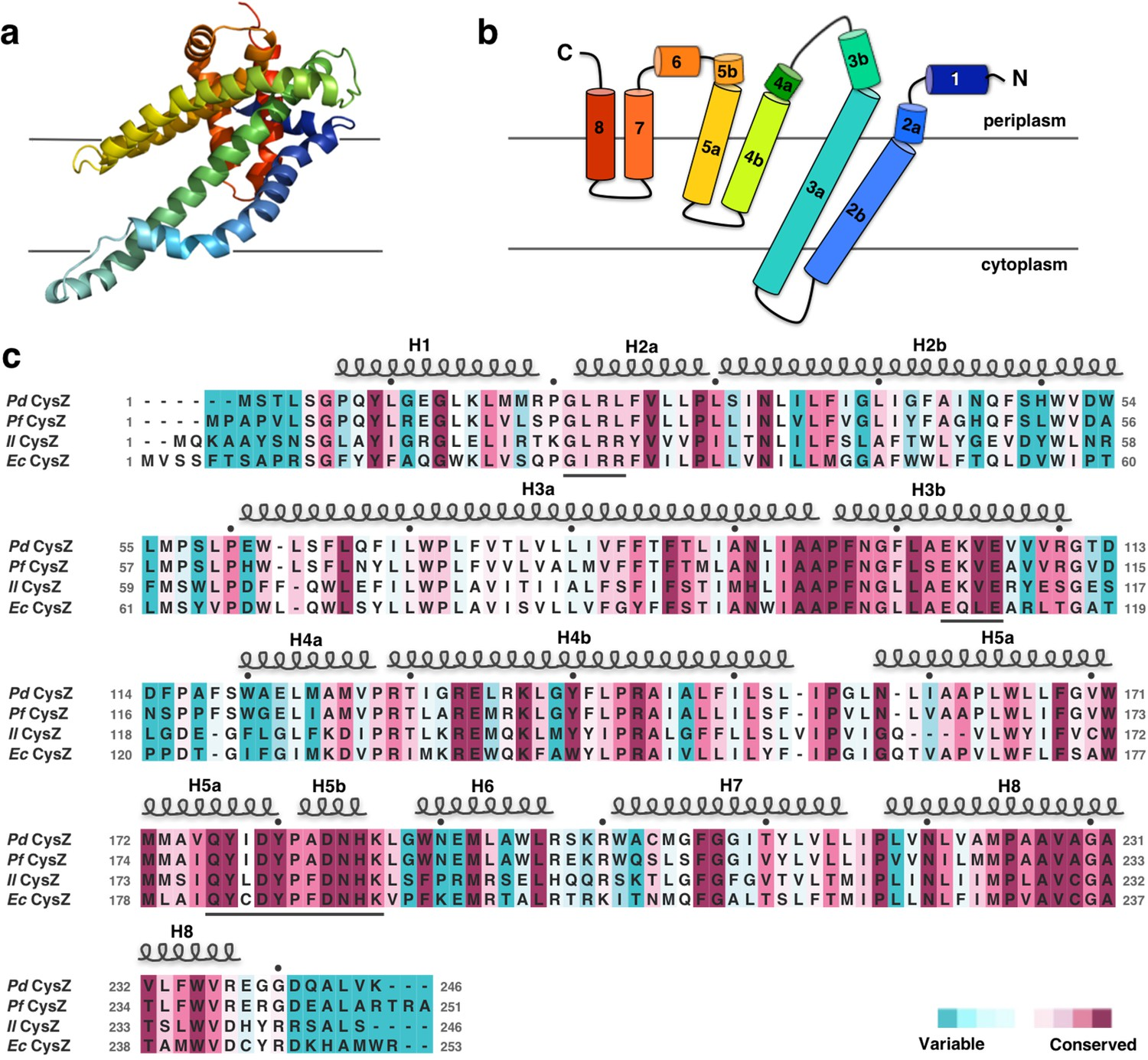 Structure-based analysis of CysZ-mediated cellular uptake of