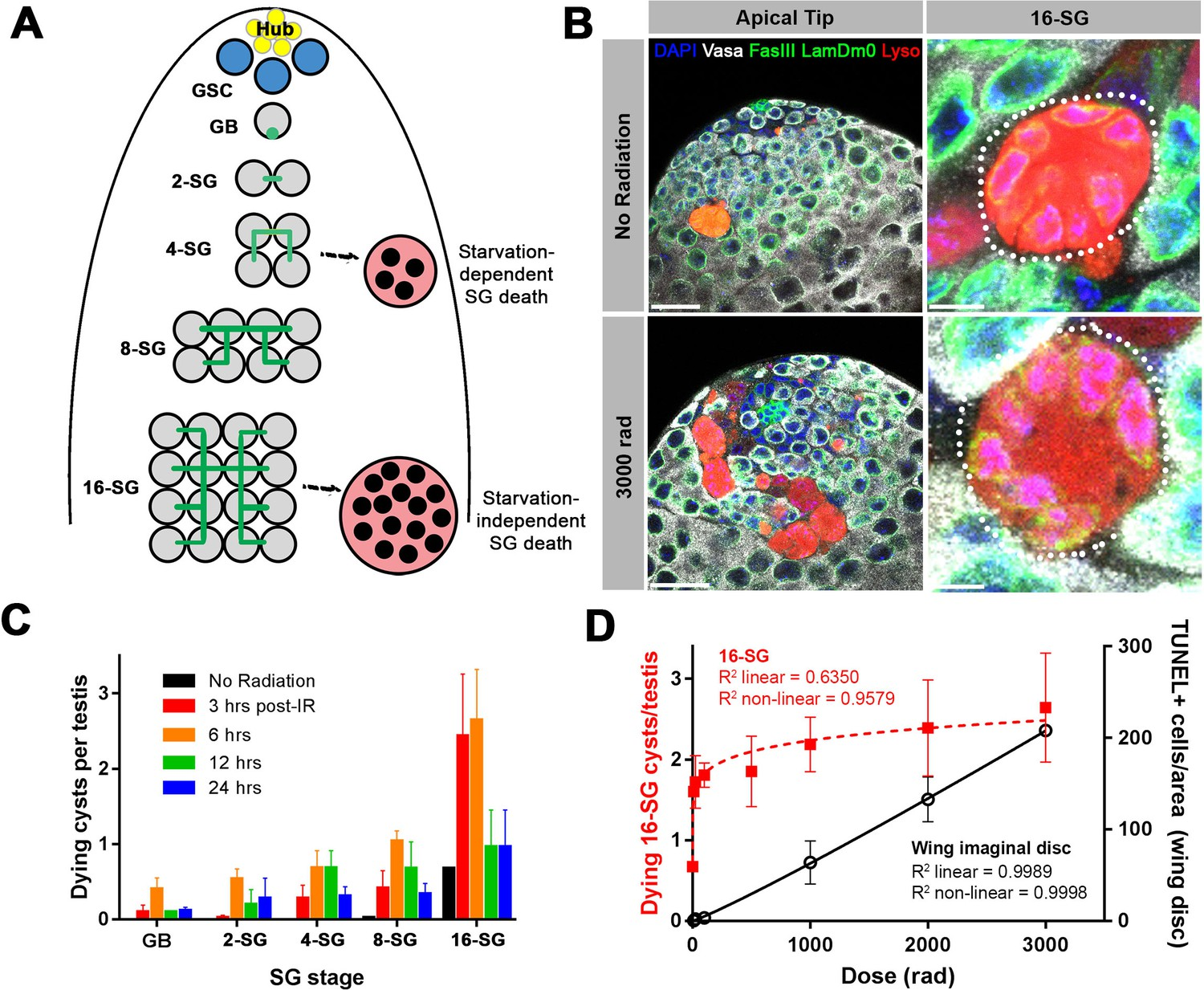 Germ cell connectivity enhances cell death in response to DNA damage in the Drosophila testis                    RUNX1 marks a luminal castration-resistant lineage established at the onset of prostate development                                      ARID1A loss in adult hepatocytes activates β-catenin-mediated erythropoietin transcription                                      Asymmetric neurogenic commitment of retinal progenitors involves Notch through the endocytic pathway