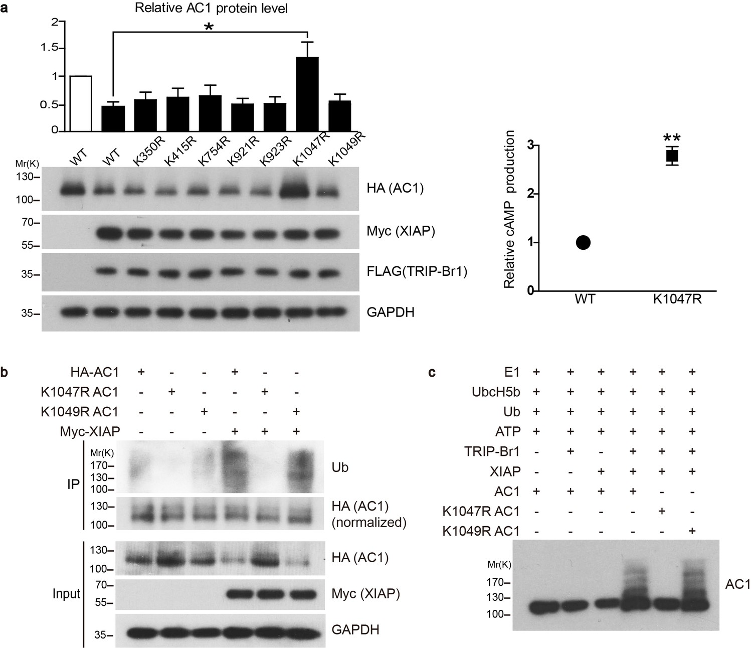 The Complex Of Trip Br1 And Xiap Ubiquitinates Degrades Multiple Randall 102 Central Heating Timer Wiring Diagram Conserved Residue K1047 Is Ubiquitin Conjugation Site In Ac1
