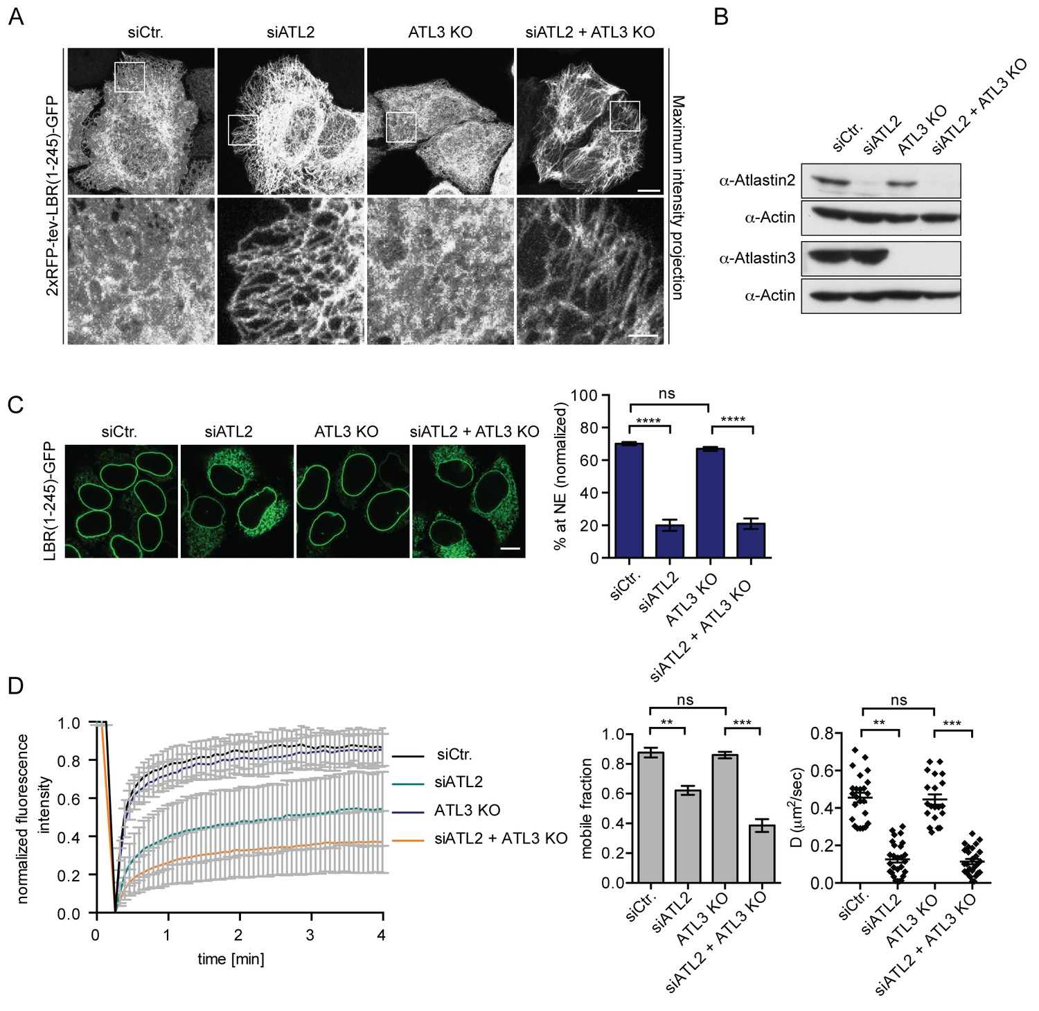 Efficient protein targeting to the inner nuclear membrane