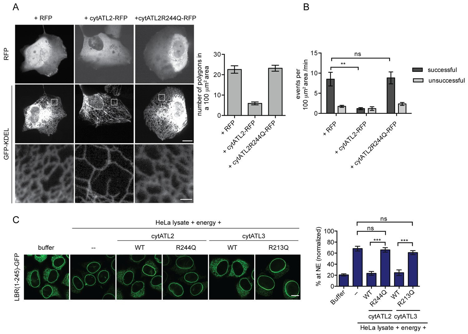 Efficient Protein Targeting To The Inner Nuclear Membrane Requires Envelope Is Connected A System Of Membranes In Dominant Negative Atlastins Cytatl Cause Defects Er Structure Dynamics And Inm
