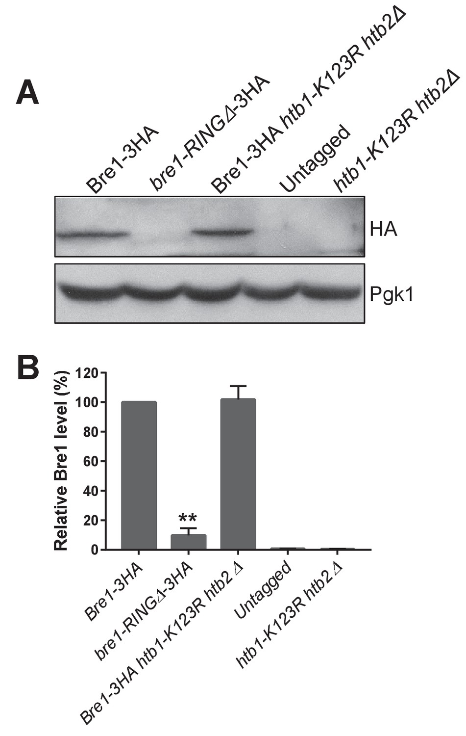 E3 Ubiquitin Ligase Bre1 Couples Sister Chromatid Cohesion Smc Crossing Arm Wiring Diagram Protein Levels In Ring And Htb1 K123r Htb2 Mutants