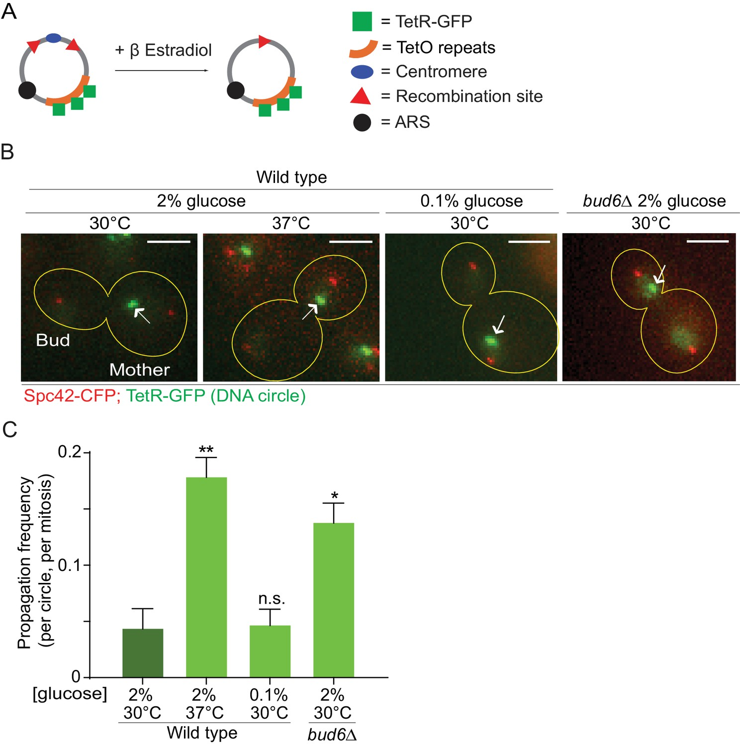 Heat Stress Promotes Longevity In Budding Yeast By Relaxing The Wiring Diagrams And Schematics With Graded Quiz Troubleshooting Reduces Confinement Of Dna Circles Mother Cell Upon Mitosis