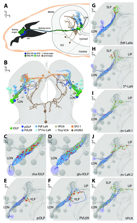 Organization Of The Drosophila Larval Visual Circuit Elife 57 08 Wiring Diagram Prs Overview Optic Neuropil