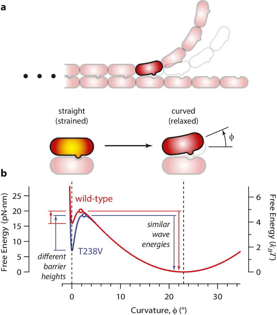 Direct Measurement Of Conformational Strain Energy In Protofilaments New Rudder Mixer And Speed Controller Driver Revisedand Now Free Landscape For A Curling Tubulin