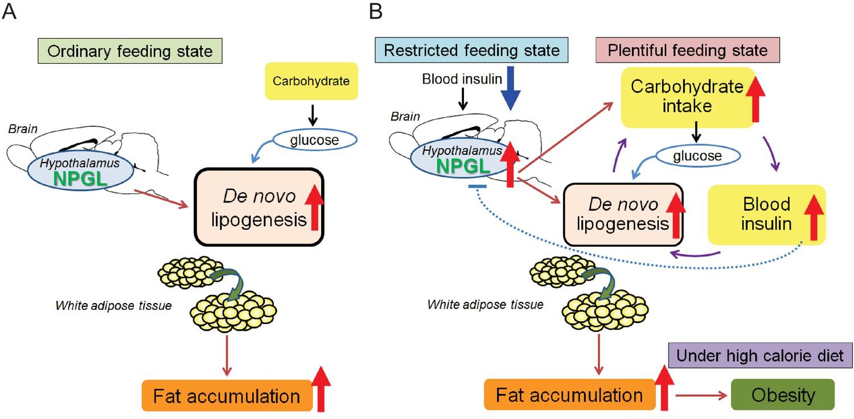Neurosecretory protein GL stimulates food intake, de novo lipogenesis, and onset of obesity   eLife