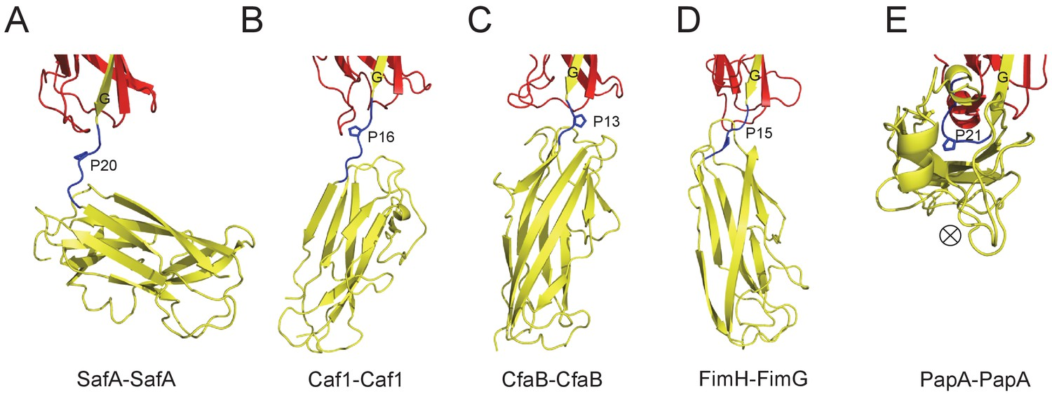 Structural basis of host recognition and biofilm formation
