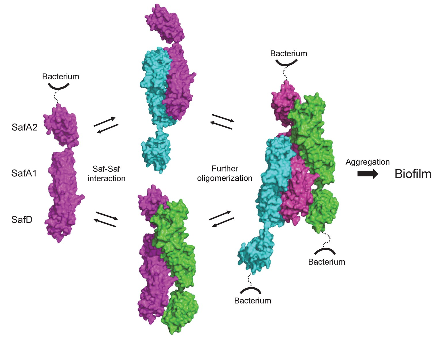 Structural basis of host recognition and biofilm formation by