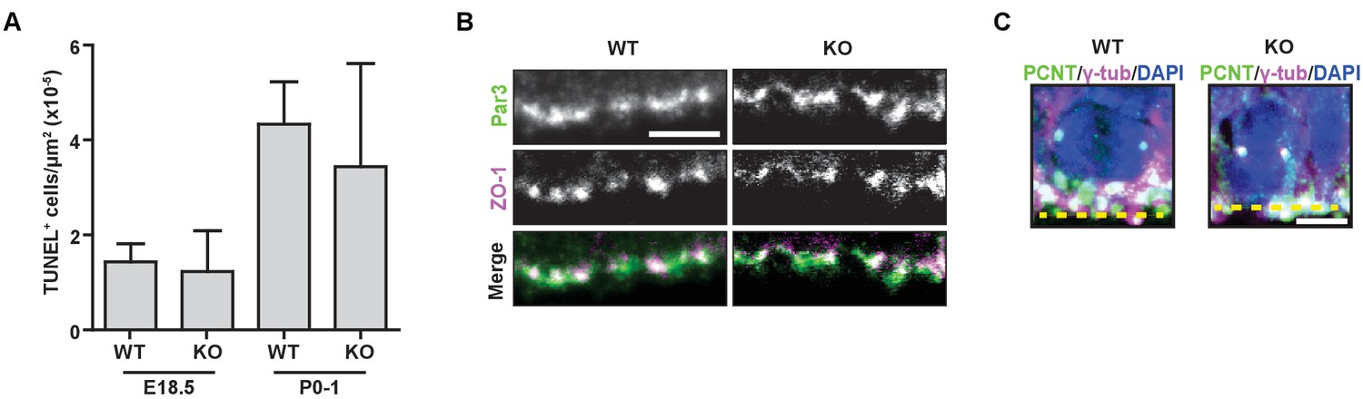 HMMR acts in the PLK1-dependent spindle positioning pathway