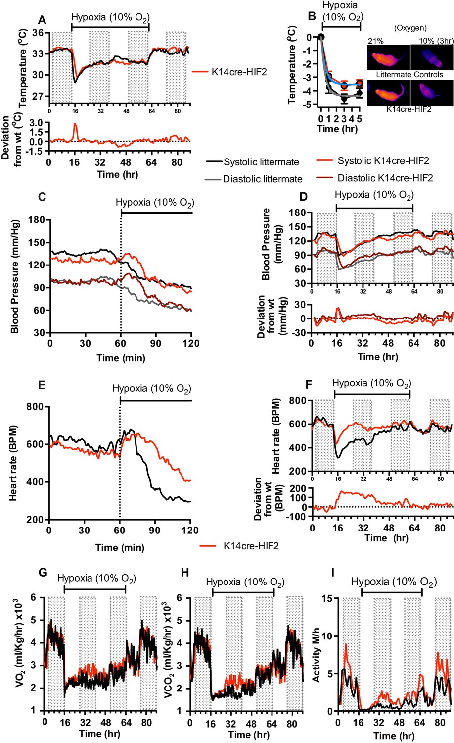 Cardiovascular Adaptation To Hypoxia And The Role Of Peripheral Diagram 88 Internal Structure Blood Flow Through Heart Keratinocyte Deletion Hif 2 Affects Acclimation