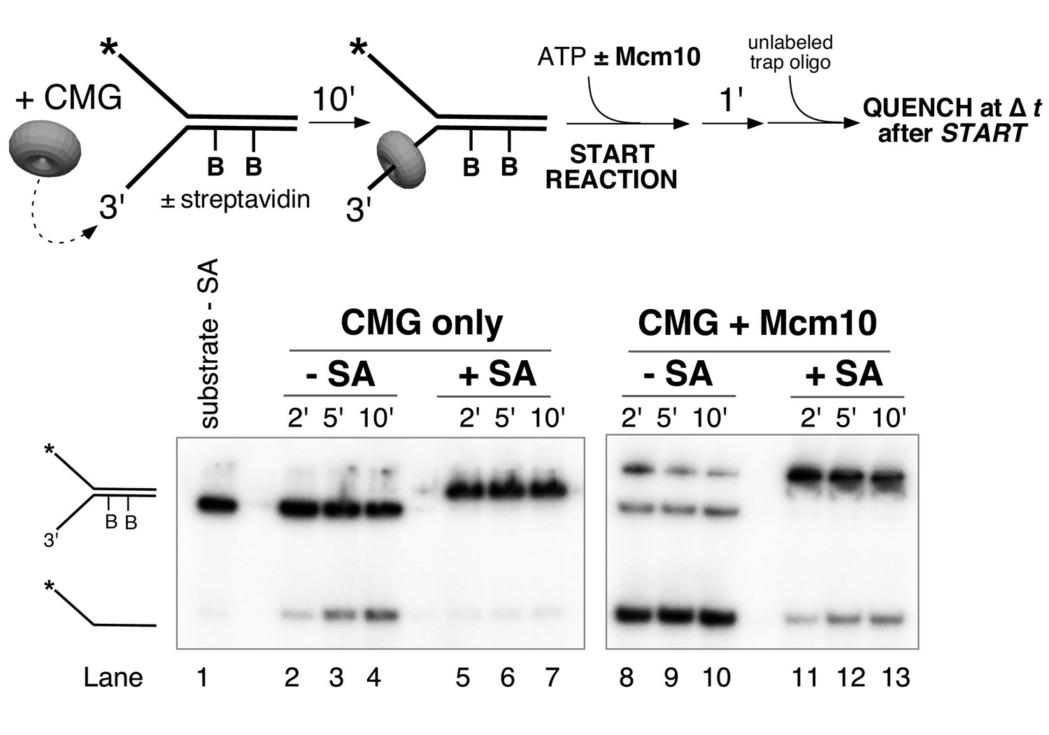 Mcm10 Promotes Rapid Isomerization Of Cmg Dna For Replisome Bypass Nexus 7 Block Diagram A Leading Strand Inhibits Unwinding Even In The Presence