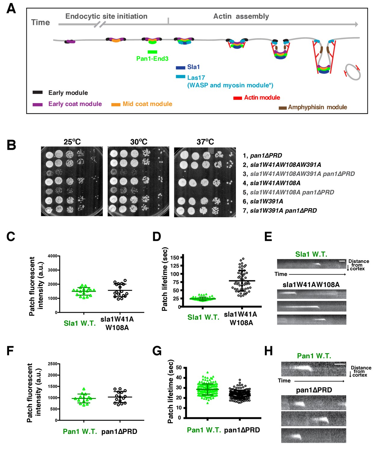 Switch Like Arp2 3 Activation Upon Wasp And Wip Recruitment To An No Disassemble Johnny 5is Alive Two Sla1 Sh3 Domains A Pan1 Prd Domain Share Crucial Role For Cell Growth
