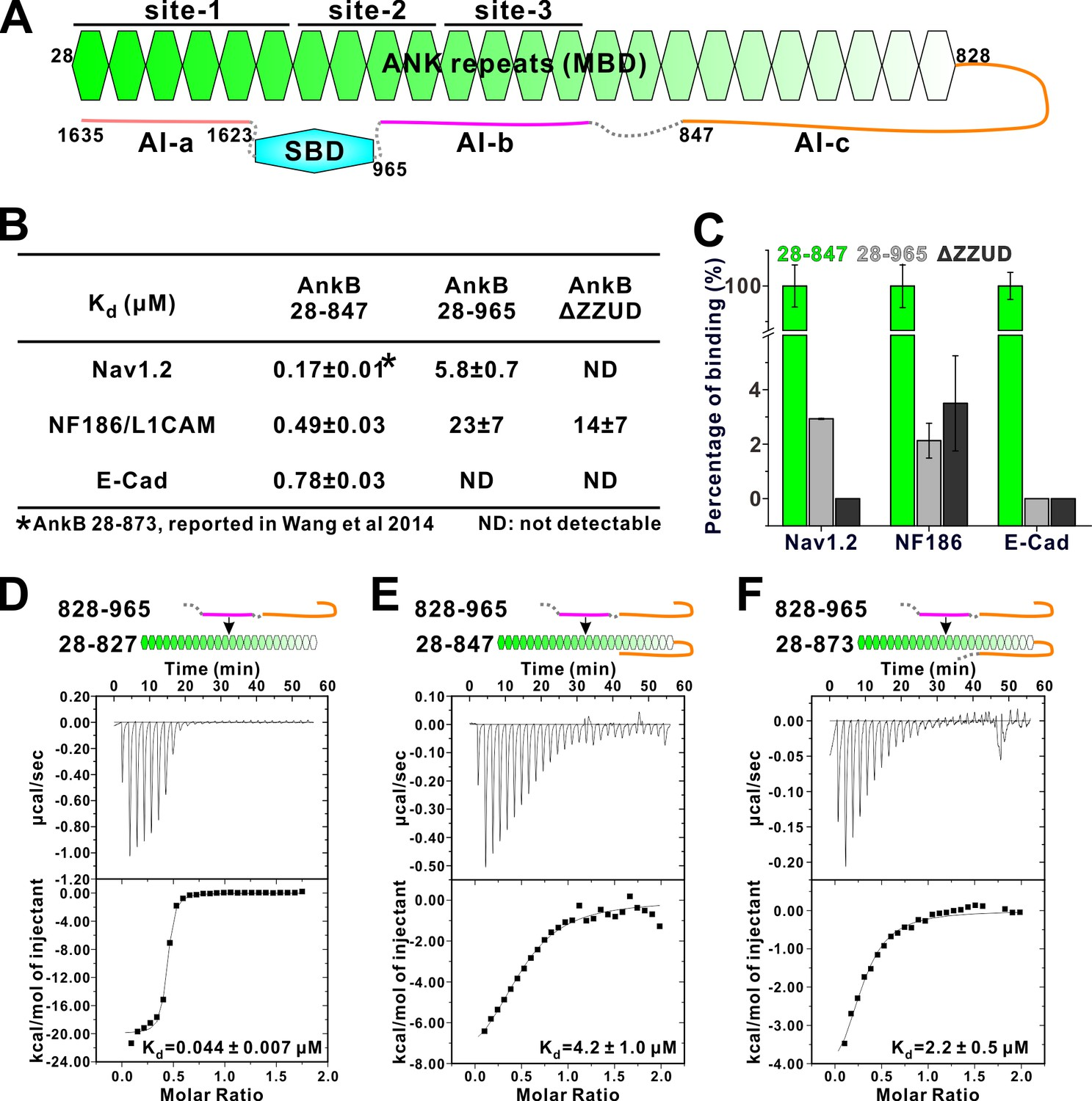 Autoinhibition of ankyrin-B/G membrane target bindings by