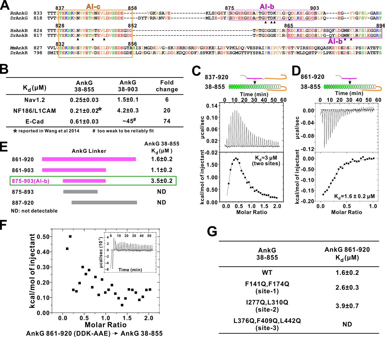 Autoinhibition of ankyrin bg membrane target bindings by autoinhibition of ankg mbd by the linker region gamestrikefo Images