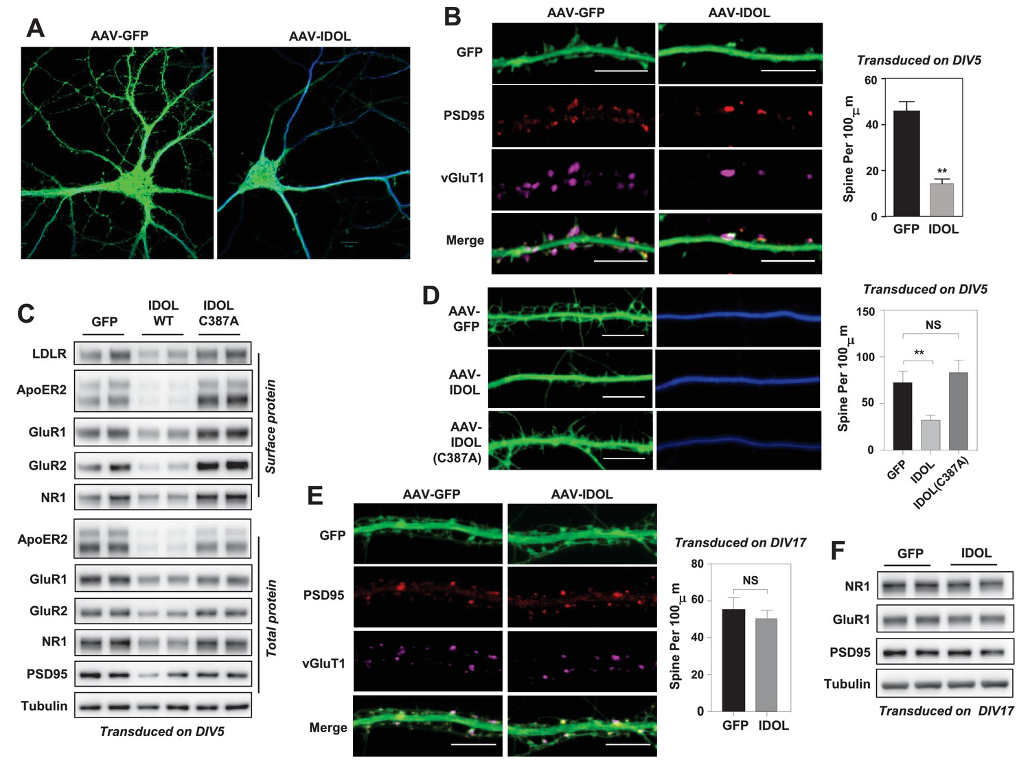 The E3 Ubiquitin Ligase Idol Regulates Synaptic Apoer2 Levels And Is Wasser Liquid Level Control Switch Ls 15 Excess Activity Inhibits Initiation Of Dendritic Spinogenesis