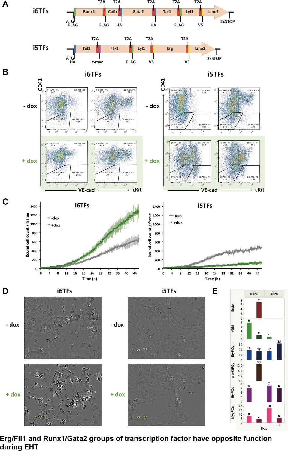 Single Cell Transcriptomics Reveals A New Dynamical Function Of Dish 625 Wiring Diagram The Erg Fli1 And Runx1 Gata2 Groups Transcription Factors Have Opposite Functions During Eht