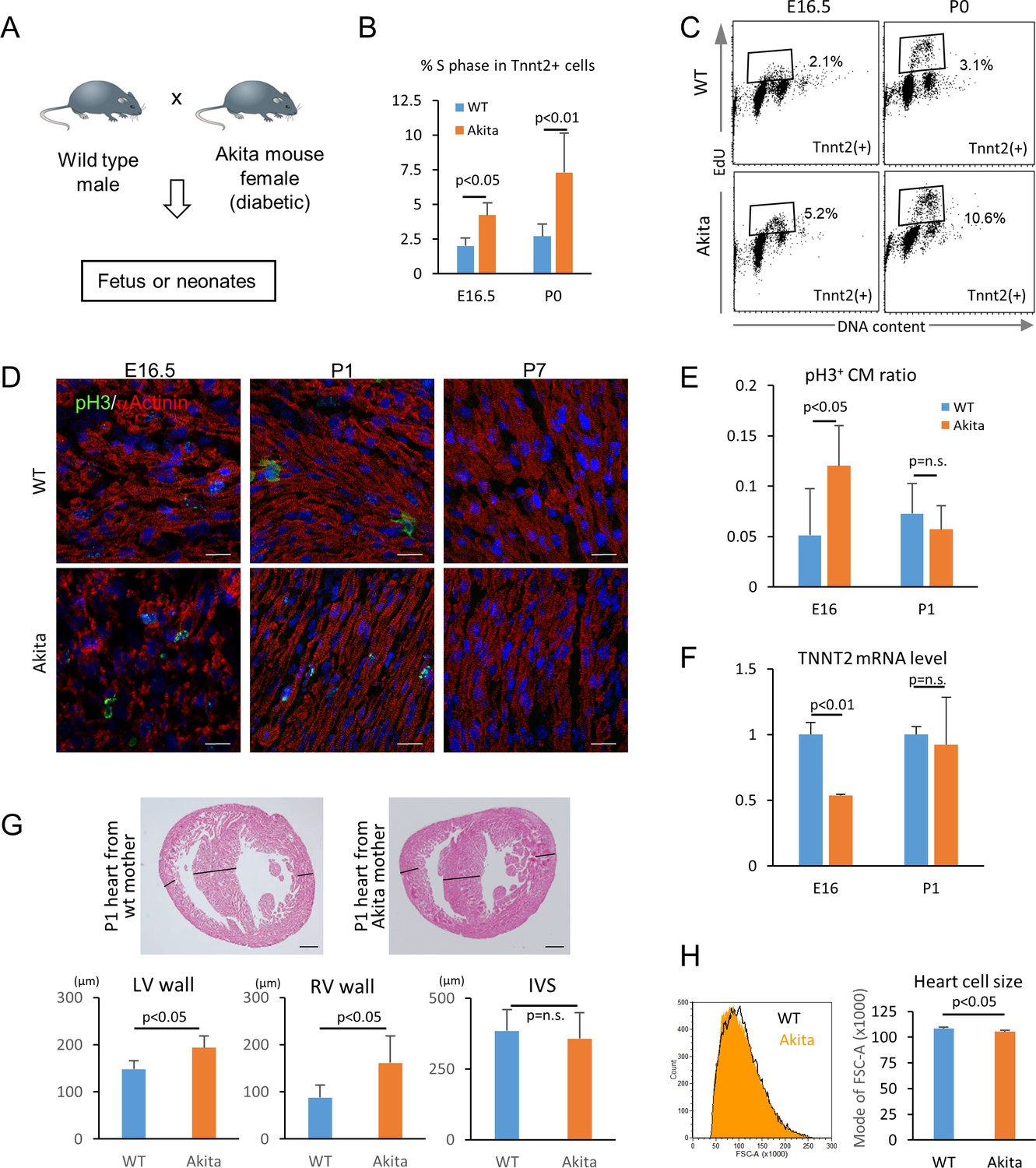 Glucose Inhibits Cardiac Muscle Maturation Through Nucleotide Gt 3000 Fuel Filter Location Hyperglycemia Promotes The Proliferation And Of Fetal Cardiomyocytes In Utero