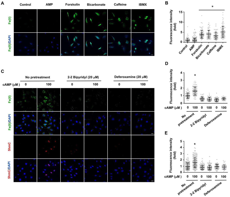 cAMP signaling regulates DNA hydroxymethylation by