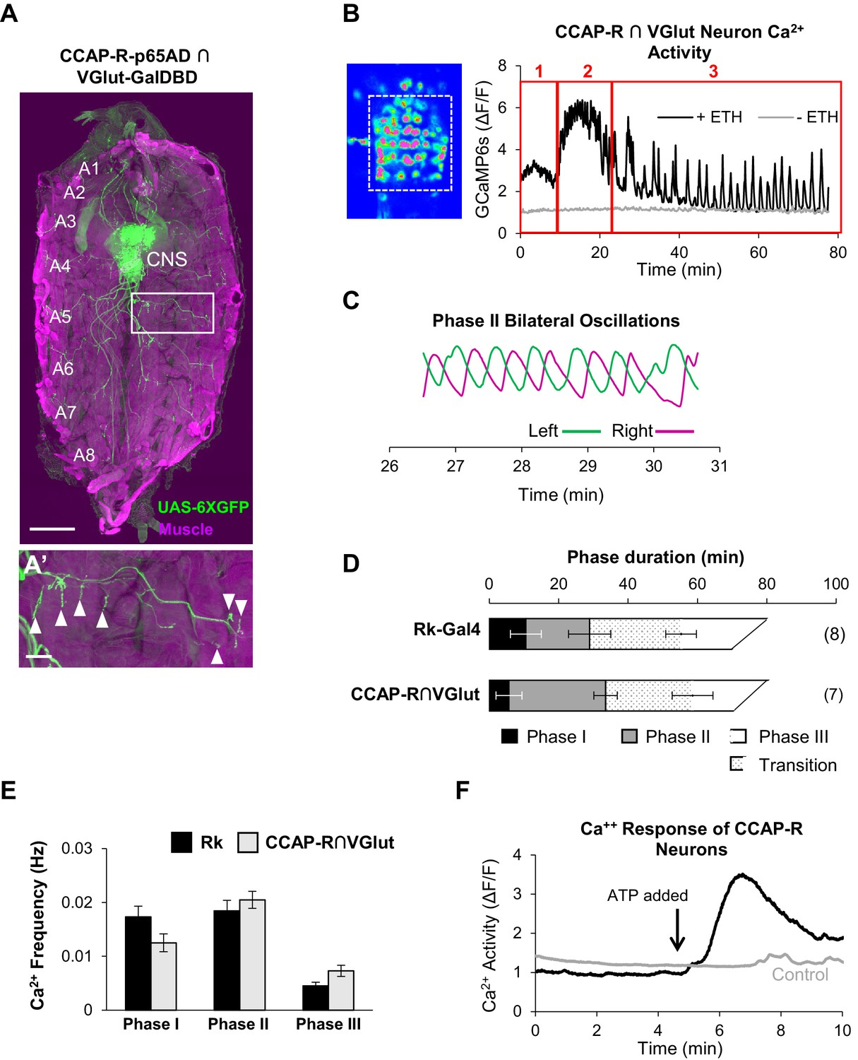 Neuromodulatory Connectivity Defines The Structure Of A Behavioral Bulletin Board Service Motorized Grain Mill Wiring Question Help Ccap R Expressing Motor Neurons Act Downstream Rk