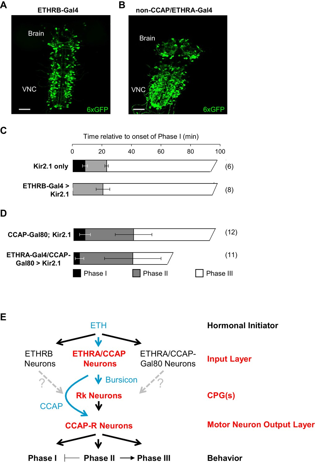 Neuromodulatory Connectivity Defines The Structure Of A Behavioral Heater Wiring Diagram Holmes Get Free Image About Ethrb Expressing And Non Ccap Ethra Neurons Regulate Phase I