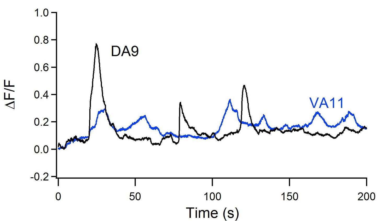 Excitatory motor neurons are local oscillators for backward