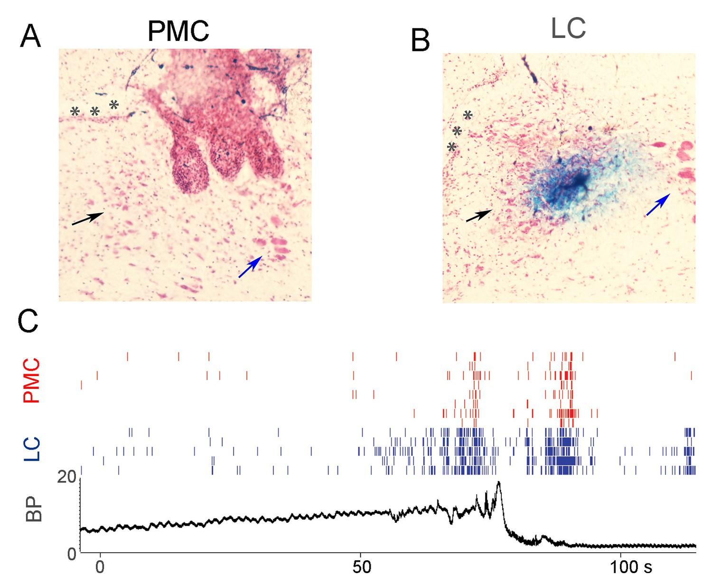 Brainstem network dynamics underlying the encoding of
