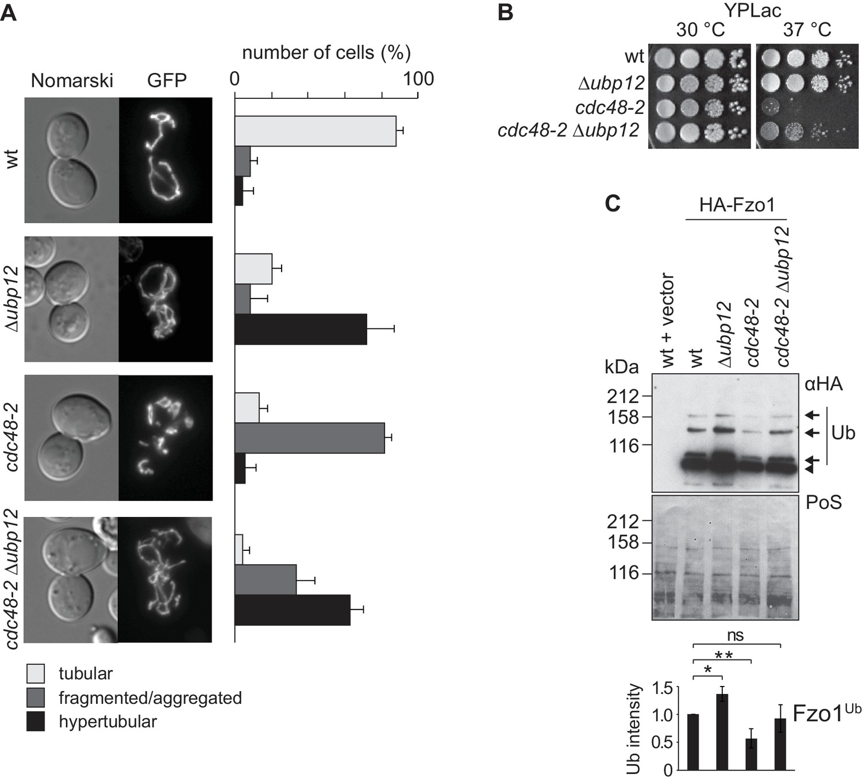 Cdc48 regulates a deubiquitylase cascade critical for mitochondrial
