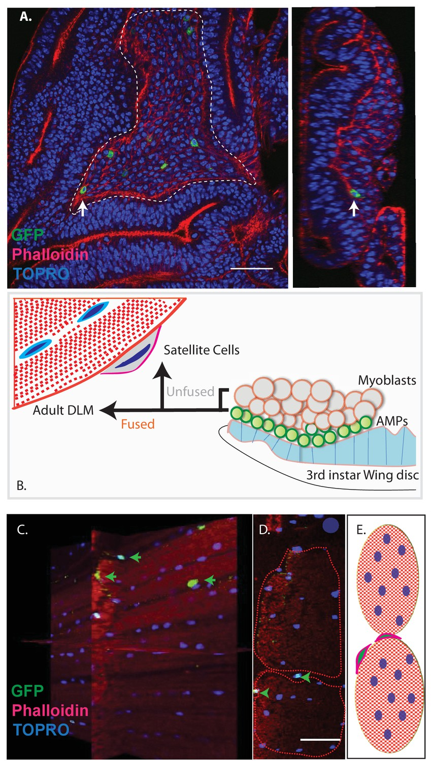 Identification And Functional Characterization Of Muscle Satellite