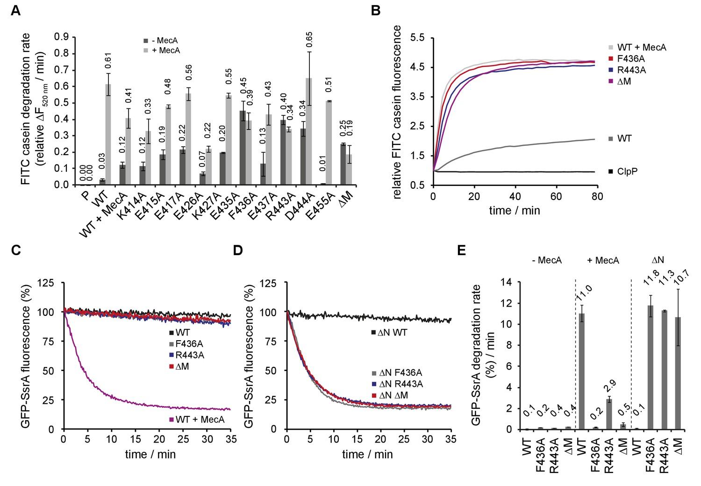 ClpC MD mutants exhibit adaptor-independent proteolytic activity.