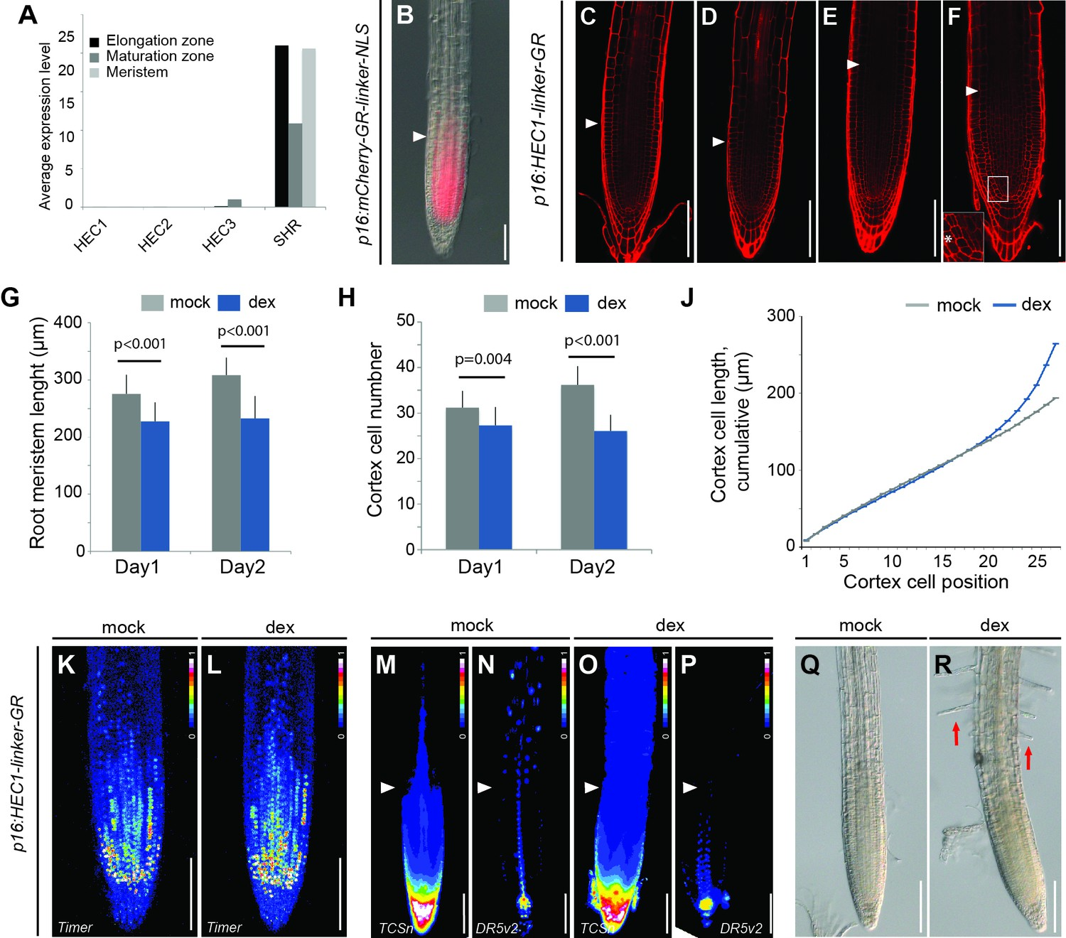 Control Of Plant Cell Fate Transitions By Transcriptional And 3d Diagram Step 3 Another Ram Developmental Dynamics In Hec Gain Function Mutants
