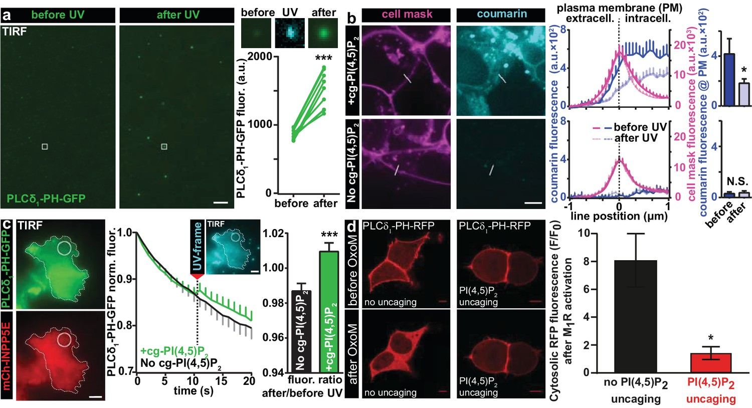 Phosphatidylinositol 45 Bisphosphate Optical Uncaging Potentiates Uv Protection Yellow Fluor Characterization Of Pi45p2 In Vitro Loading Cg Into Living Cells And Visualization Several Cell Types