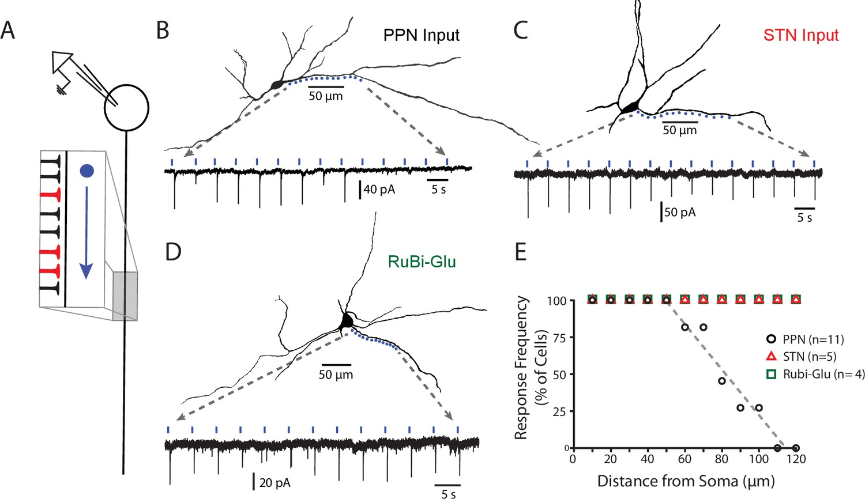 Pedunculopontine glutamatergic neurons control spike