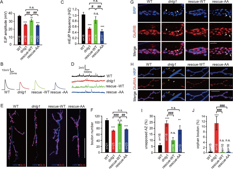 Neurexin–Neuroligin 1 regulates synaptic morphology and