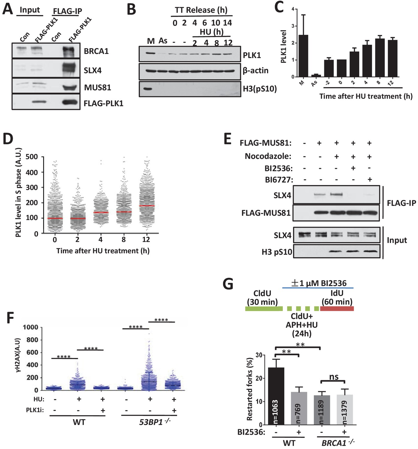 53bp1 And Brca1 Control Pathway Choice For Stalled Replication In The Above Circuit When Toggle Switch Is Open As Shown 12 Plk1 Controls Switching Between Mediated Cleavage Free To