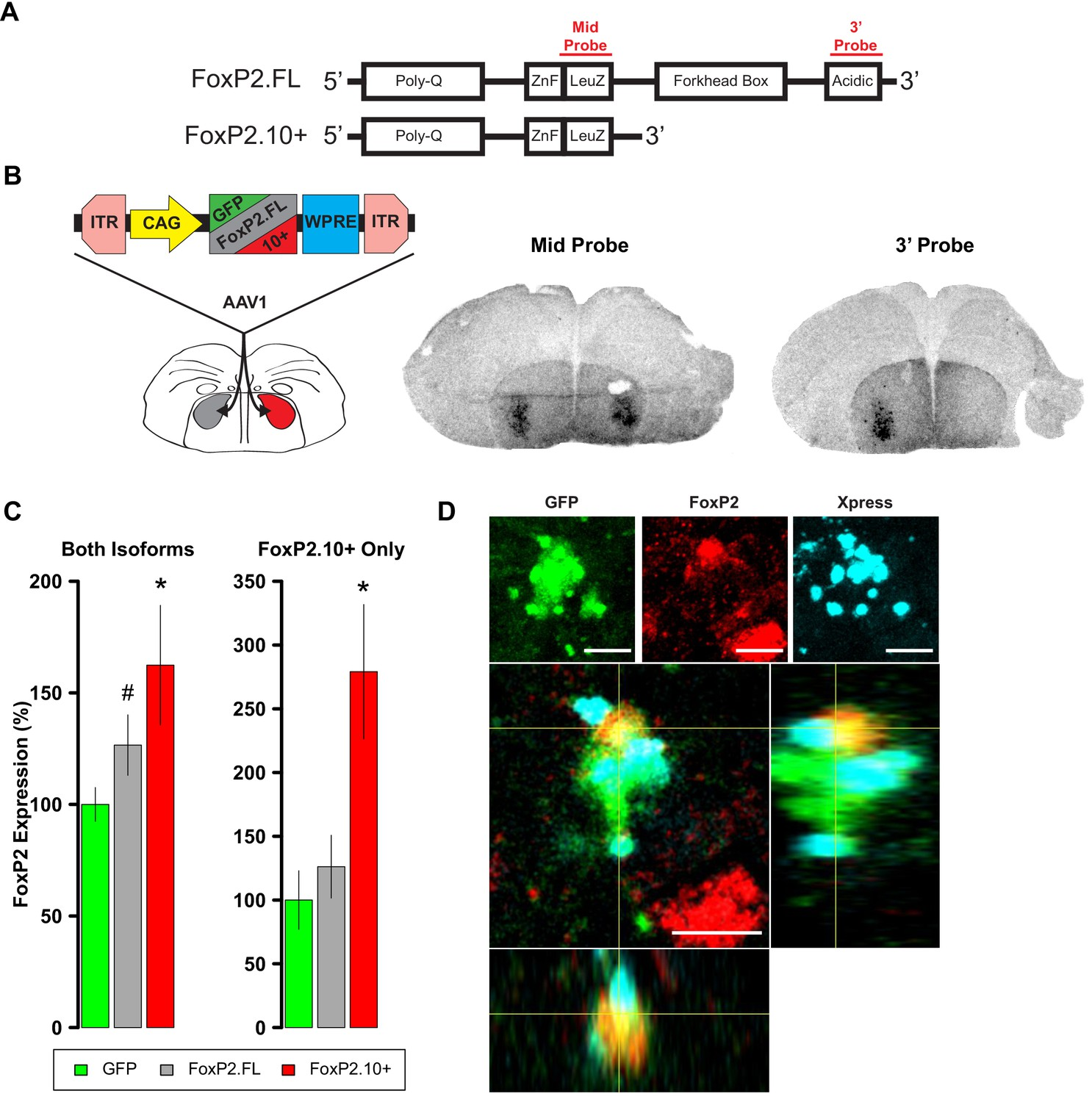 Foxp2 Isoforms Delineate Spatiotemporal Transcriptional Networks For Millermatic 350p Wiring Diagram Overexpression Of