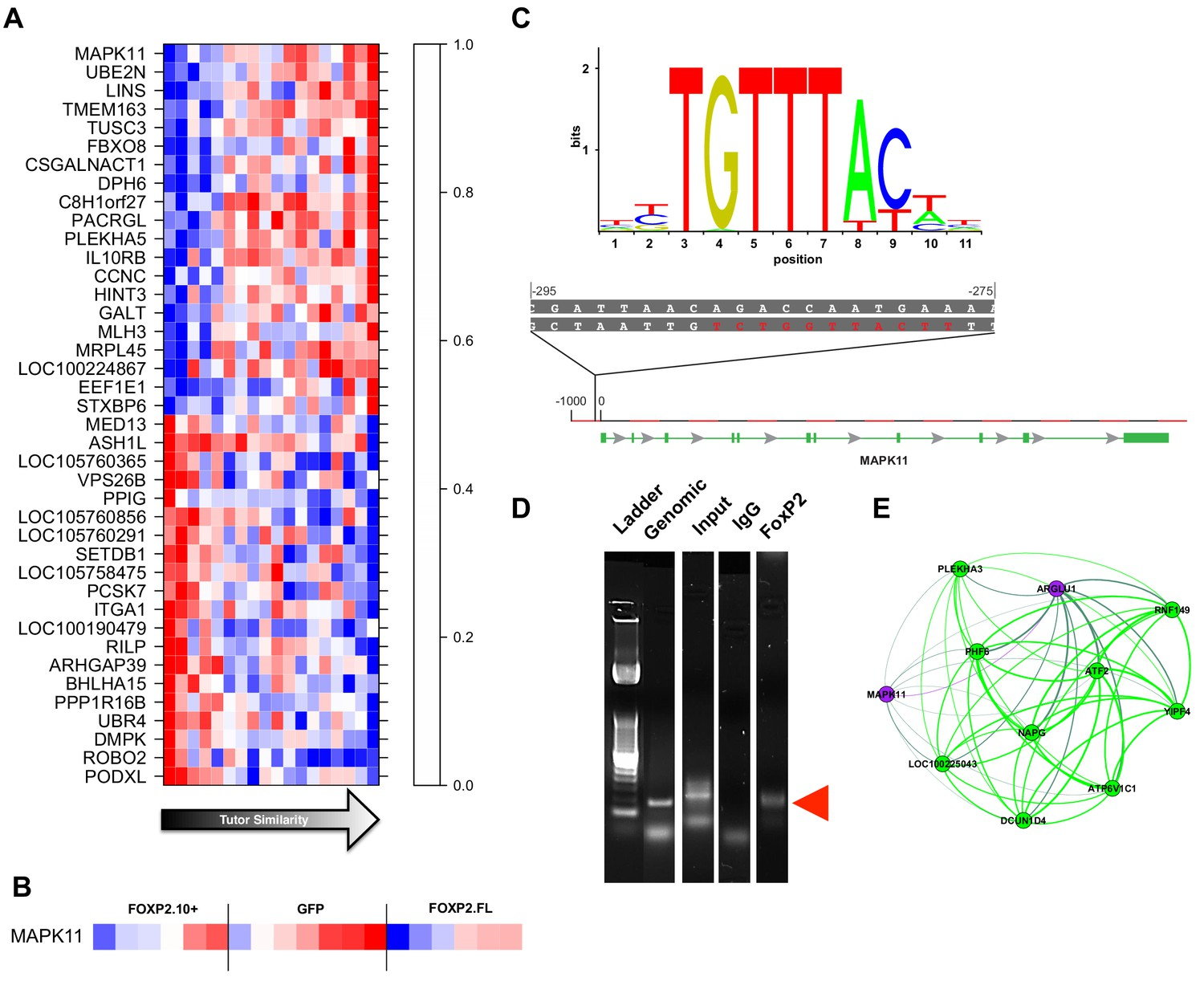 Foxp2 Isoforms Delineate Spatiotemporal Transcriptional Networks For Electronic Circuit Symbols 7 10 From 26 Votes Gene Significance And Network Position Implicate Mapk11 As A Molecular Entry Point To Vocal Learning Mechanisms