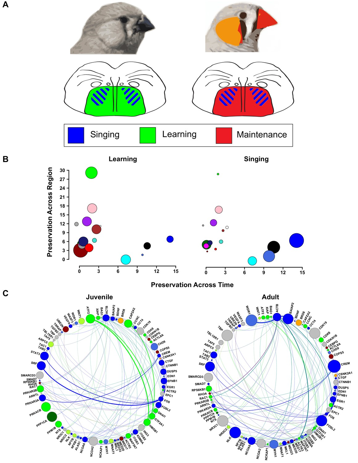 Foxp2 Isoforms Delineate Spatiotemporal Transcriptional Networks For 1997 Blue Bird Wiring Diagram Cluster Changes In Vocal Plasticity State Between Juvenile And Adult Birds