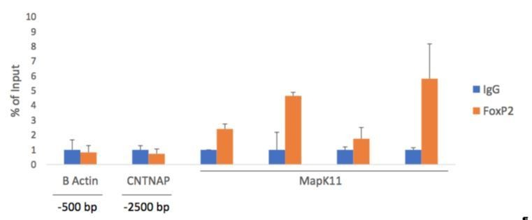 FoxP2 isoforms delineate spatiotemporal transcriptional