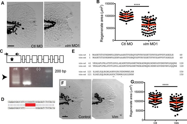 Damage-induced reactive oxygen species regulate vimentin and