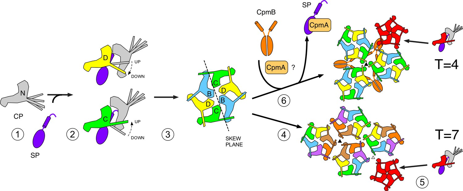 Competing scaffolding proteins determine capsid size during ...