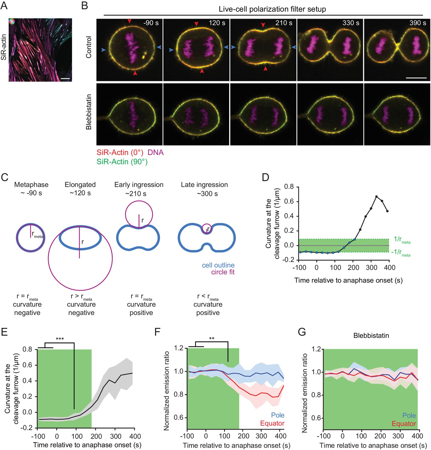Cytokinesis In Vertebrate Cells Initiates By Contraction Of An 6 8211 12 Volt Adjustable Power Supply Circuit Quantification Actin Reorganization Live Cell Confocal Polarization Microscopy
