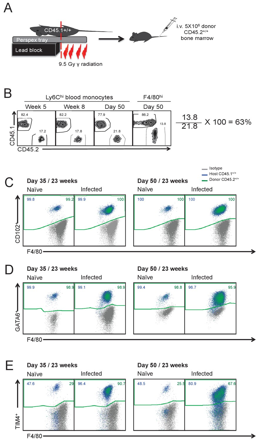 Myeloid Cell Recruitment Versus Local Proliferation Differentiates Computer Mouse Diagram Schematic And Image Of Experimental Procedure Used To Generate Partial Bone Marrow Chimeric Mice On The C57bl 6 Background