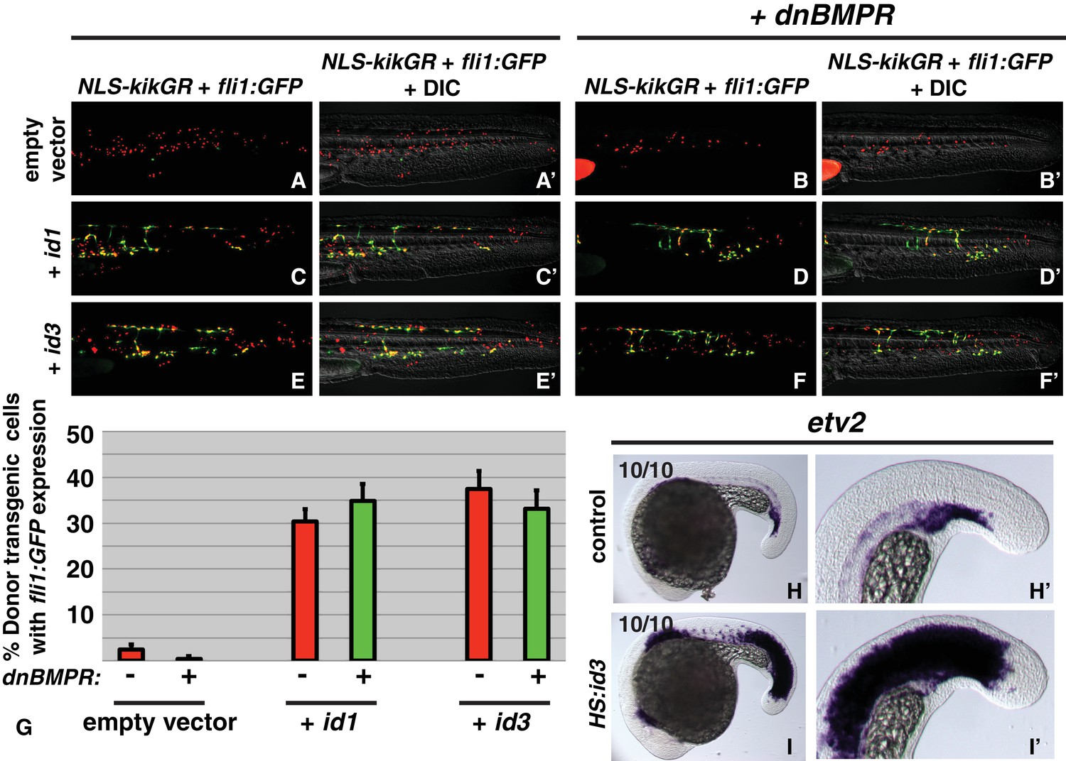 BMP and FGF signaling interact to pattern mesoderm by