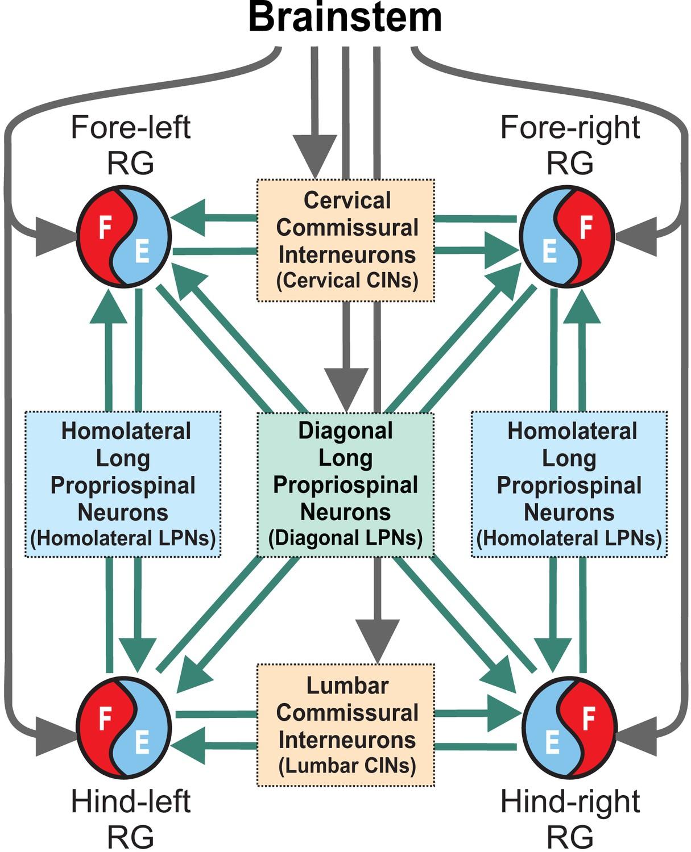Computational modeling of spinal circuits controlling limb