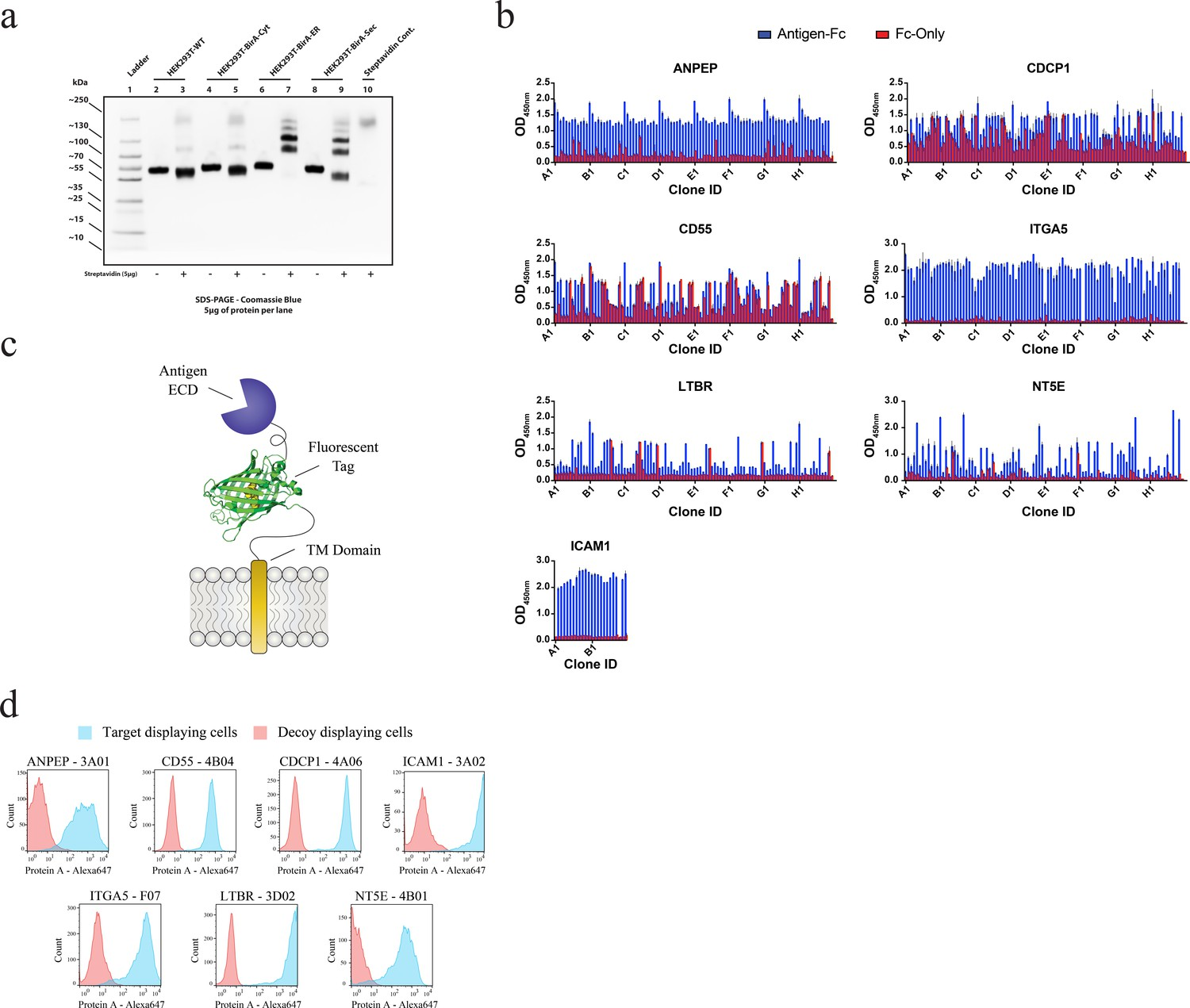 Targeting RAS-driven human cancer cells with antibodies to