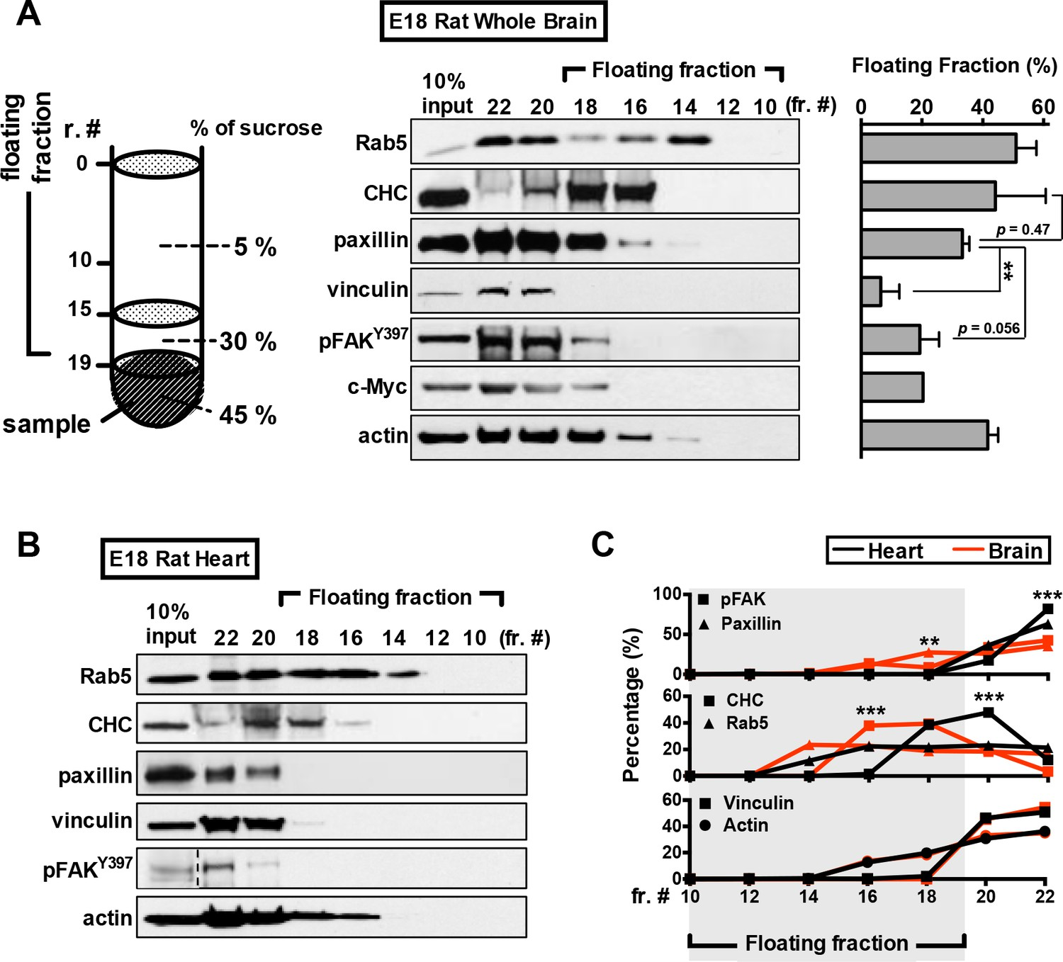 Paxillin Facilitates Timely Neurite Initiation On Soft Substrate Free Information Society Geiger Counter Electronic Circuit Schematic Associates With Floating Vesicles In Rat Embryonic Brain Lysate
