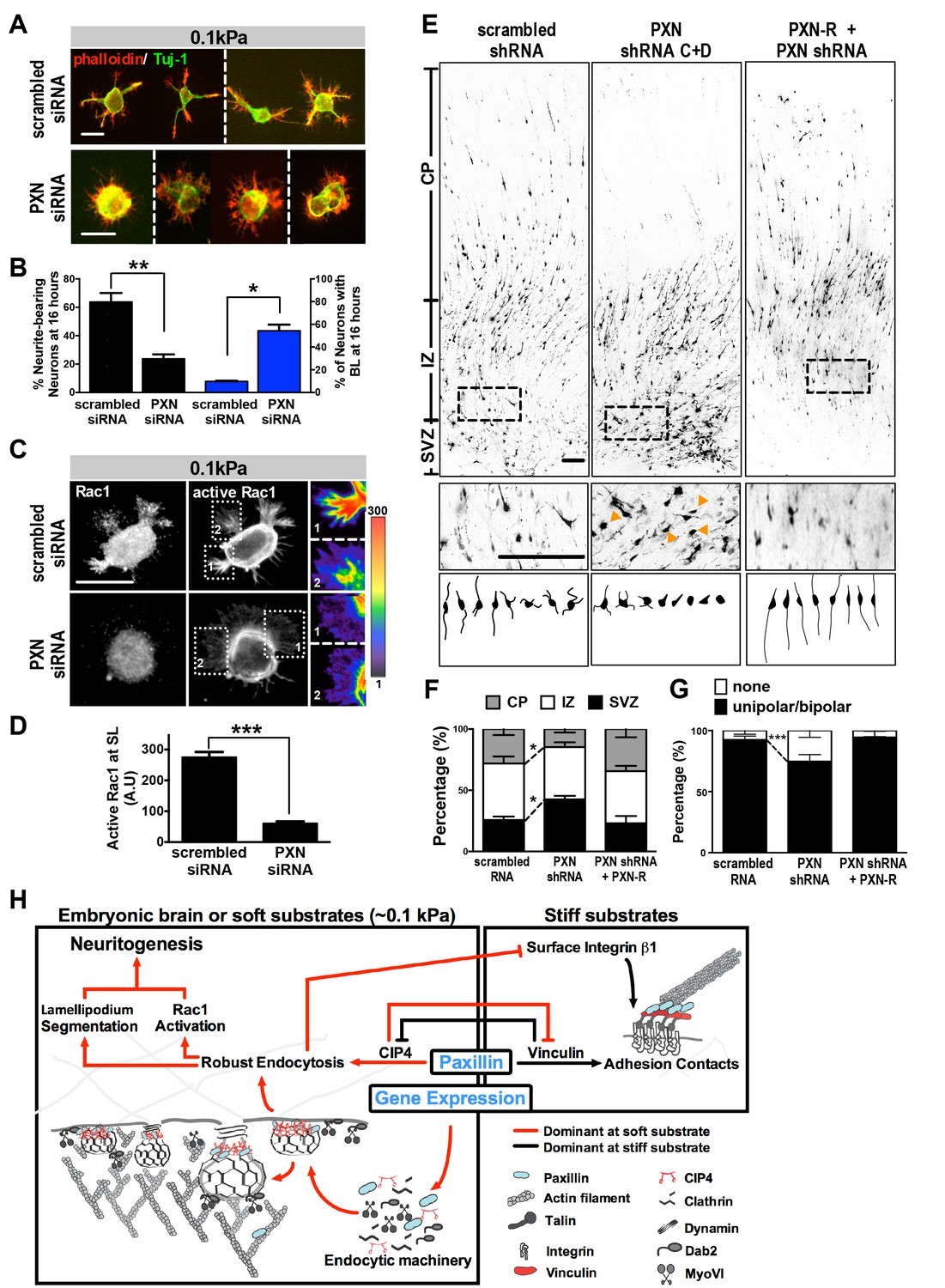 Paxillin Facilitates Timely Neurite Initiation On Soft Substrate Eagle Diagram Group Picture Image By Tag Keywordpicturescom Knockdown Alters Formation And Neuronal Migration In Vitro Vivo