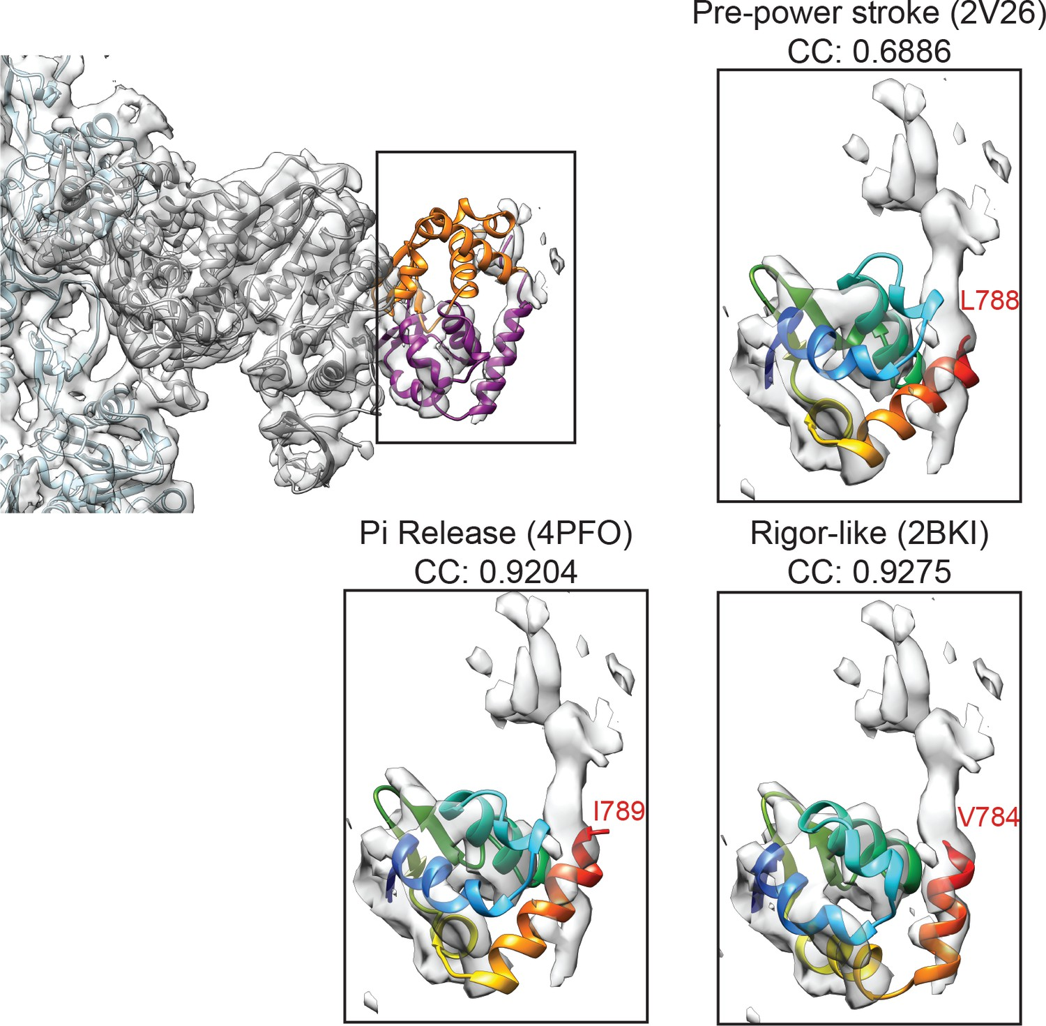 Cryo-EM structures reveal specialization at the myosin VI